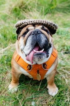 Cappuccio d'uso del cane rosso inglese / britannico del bulldog fuori per una passeggiata che cerca seduta nell'erba