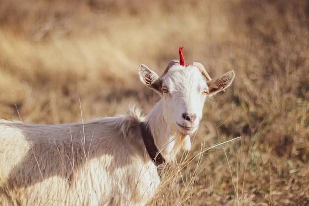 Capra bianca che pasce sull'erba all'aperto
