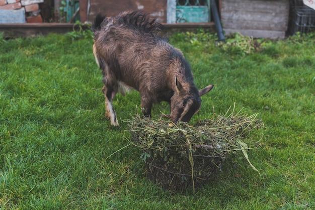 Capra che mangia erba in fattoria