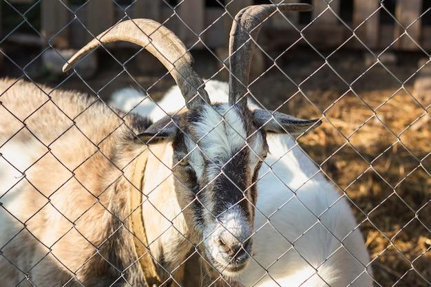 Capra con le corna guardando attraverso la recinzione