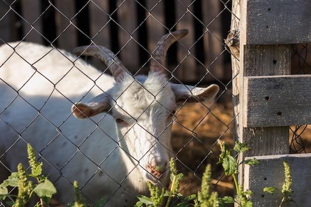 Capra dentro il recinto con il portone all'azienda agricola