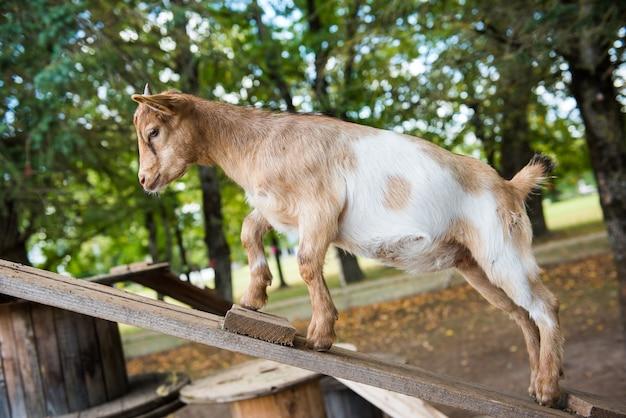 Capra marrone divertente, giovane animale sta cercando di camminare su assi di legno