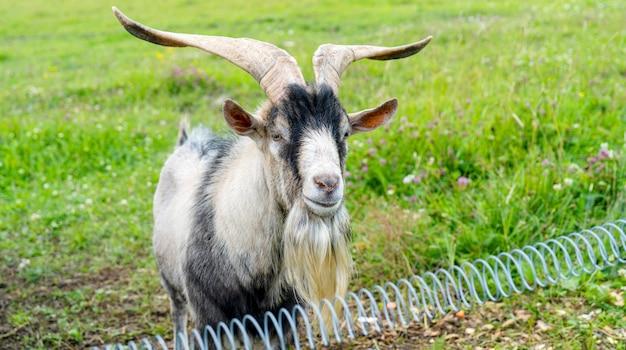 Capra maschio adulto dell'animale domestico sull'azienda agricola.