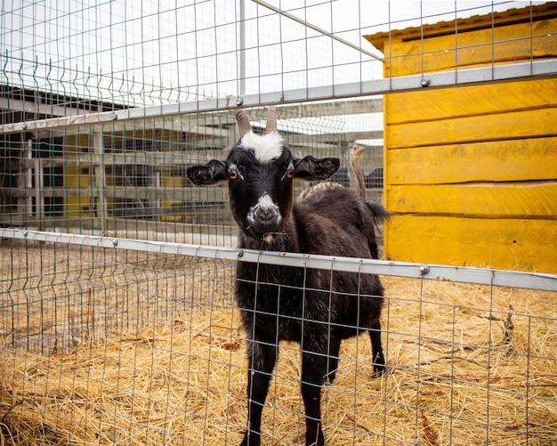 Capra nera nel fieno in una fattoria