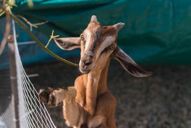 Capra sveglia che mangia un ramo di erba. capra marrone in una penna all'aperto