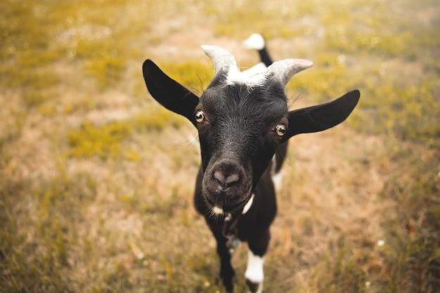 Capretto giovane con piccole corna, esaminando la fotocamera, fattoria sfocata sullo sfondo
