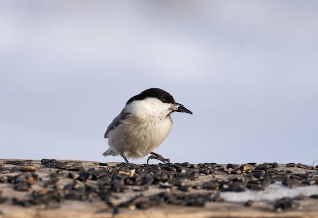 Carbone in piedi a terra nutrendosi di semi