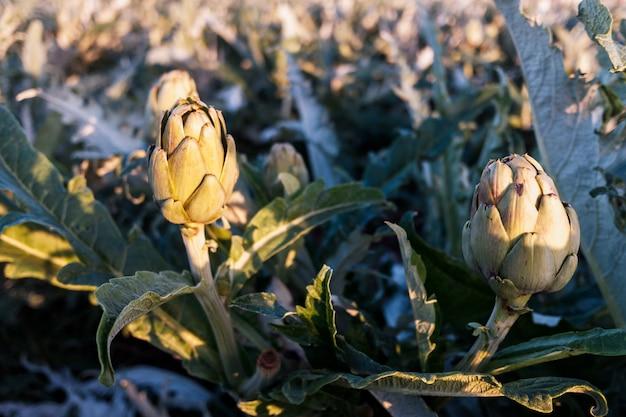 Carciofi che crescono al sole in una piantagione mediterranea.