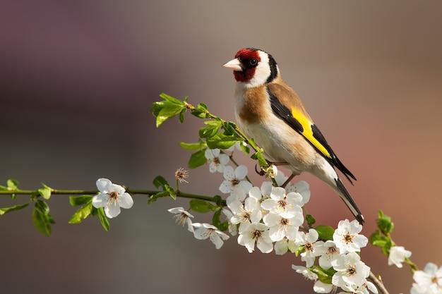 Cardellino europeo che si siede sul ramoscello dell'albero con i fiori sboccianti in primavera.