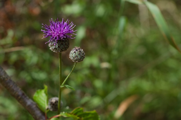 Cardo selvatico di carciofo dei fiori blu di fioritura