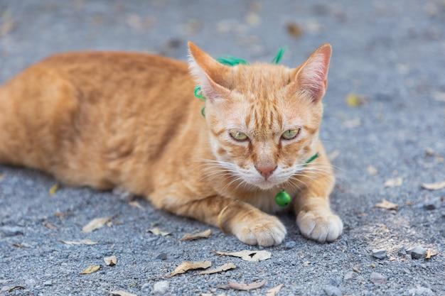 Carino gatto domestico sdraiato sul terreno. thai arancione e bianco gatto.