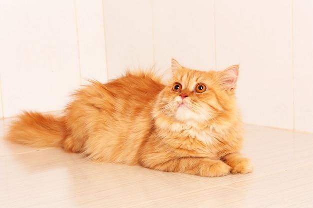 Carino gatto persiano arancione