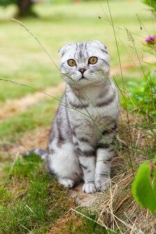 Carino gatto piega britannico