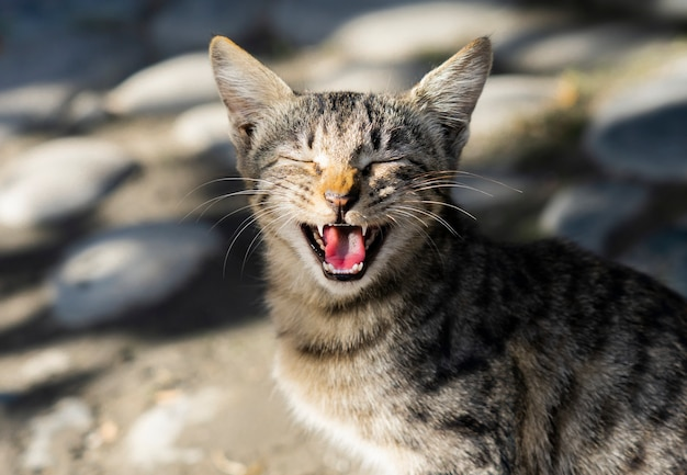 Carino gatto randagio solitario sbadigliando con la bocca spalancata