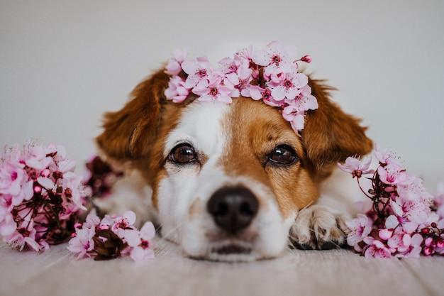 Carino jack russell rilassante a casa indossando una bellissima ghirlanda di fiori di mandorlo