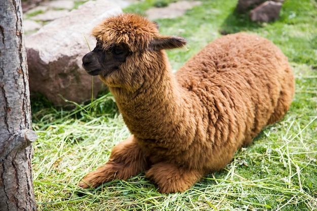 Carino piccolo alpaca bambino