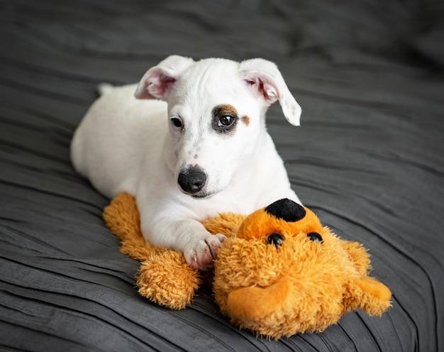 Carino piccolo cane bianco jack russell terrier si trova sul letto in camera da letto con orso giocattolo