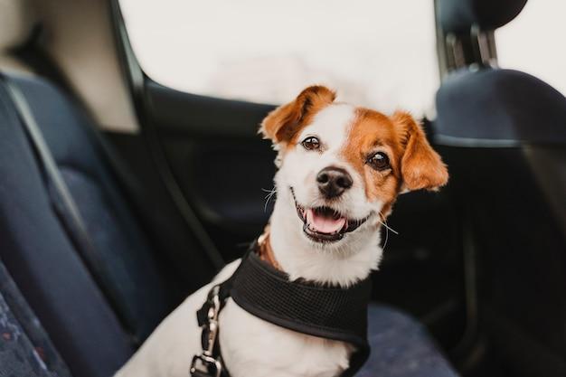 Carino piccolo cane russell jack in un'auto che indossa un'imbracatura e cintura di sicurezza