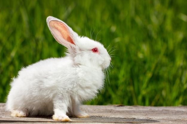 Carino piccolo coniglio bianco su uno sfondo verde, si siede su una tavola di legno
