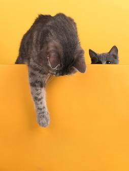 Carino piccolo gatto grigio e gattino, su un giallo, guarda e gioca. buisiness, copyspace.