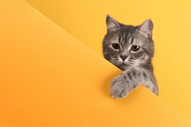 Carino piccolo gatto grigio, su un giallo, guarda e gioca. buisiness, copyspace.