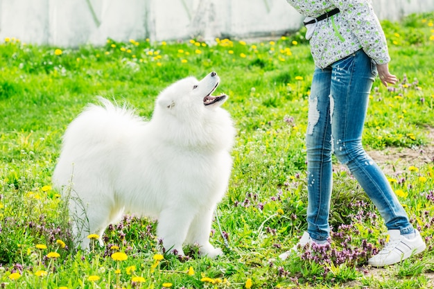 Carino samoiedo bianco con il suo proprietario