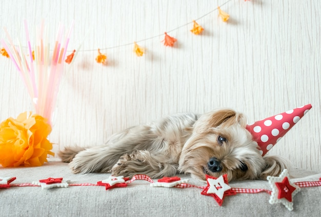 Carino yorkshire terrier
