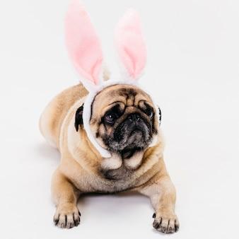 Carlino compatto sveglio dell'albicocca in orecchie del coniglietto