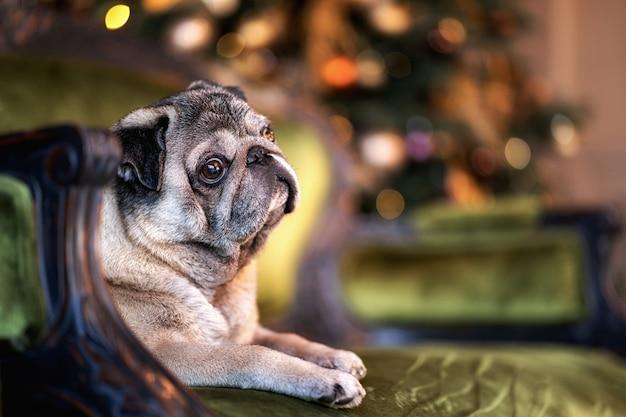 Carlino di natale che si siede sui precedenti di un albero di natale decorato. sfocato sullo sfondo con ghirlande di luci, palloncini