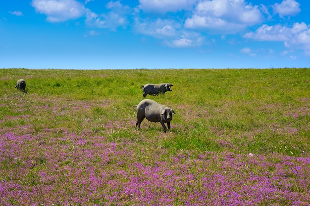 Carne di maiale iberico di iberico di cerdo in dehesa spagna