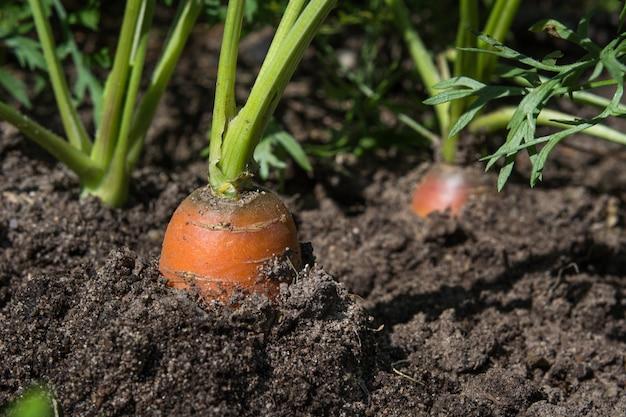 Carota cruda con cime sta crescendo. agricoltura. primo piano, macro.