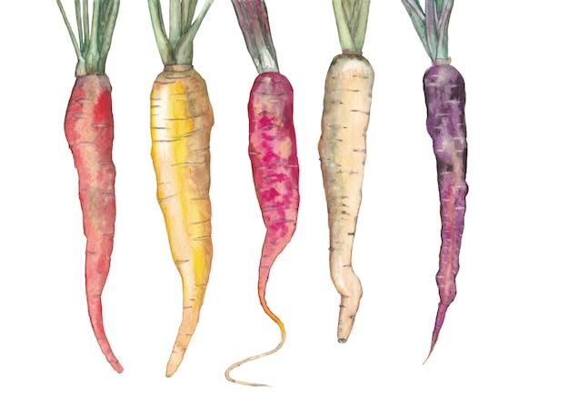 Carote multicolori mature. illustrazione ad acquerello