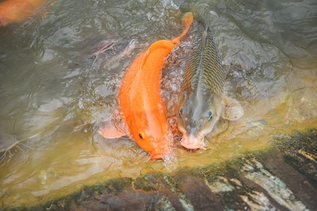 Carpa dorata pesce arancio o carpa comune e pesce gatto che mangiano dall'alimentazione dell'alimento sull'acqua