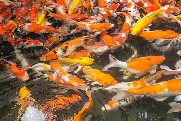 Carpa operata variopinta luminosa sull'acqua che mangia alimento.