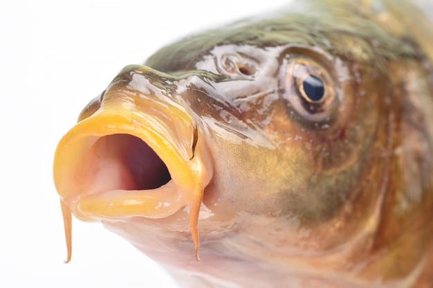 Carpa pesce
