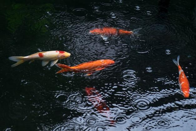 Carpe alla moda o pesci koi che nuotano nello stagno mentre piove