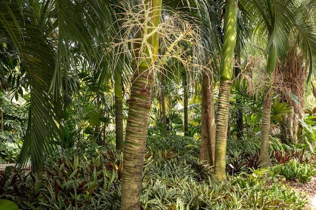 Carpoxykum palm o aneityum palm, carpoxylon macrospermum, palma