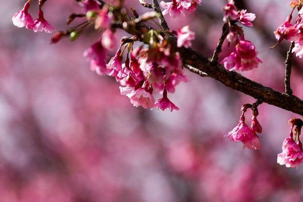 Carta da parati cherry blossom and sakura