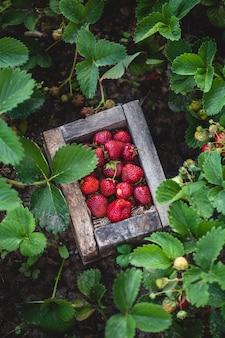 Cassa di fragole appena raccolte in un campo