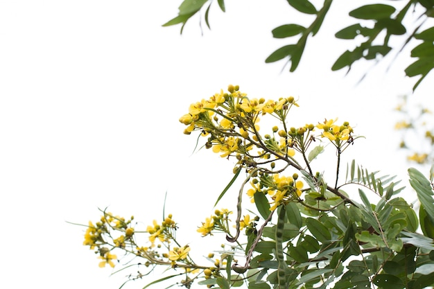 Cassod tree, baccello di rame tailandese (senna siamea (lam.)