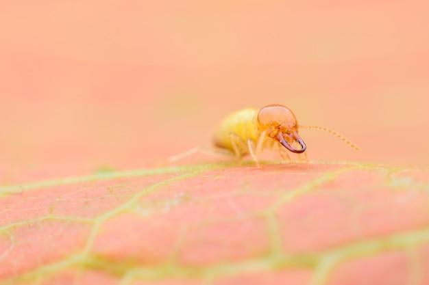 Casta di soldato di termite
