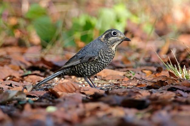 Castagna-munita rock-thrush monticola rufiventris bella femmina uccelli della thailandia