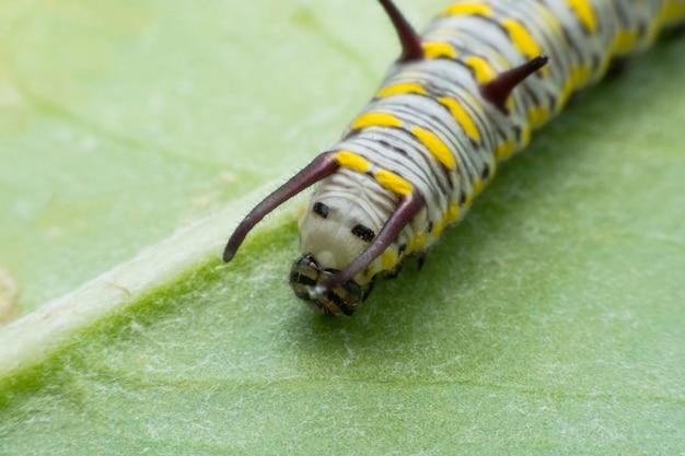 Caterpillar monarca matura sulla foglia verde