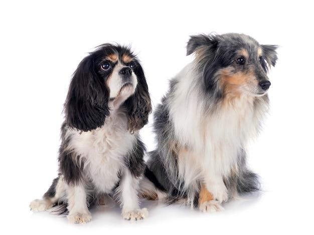 Cavalier king charles e cane pastore delle shetland