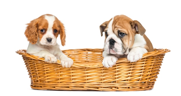 Cavalier king charles e cuccioli bulldog inglese