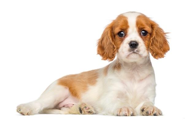 Cavalier king charles puppy che giace e fissa