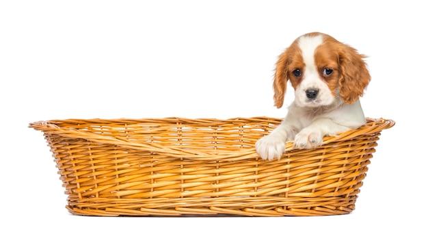 Cavalier king charles puppy in un cestino di vimini