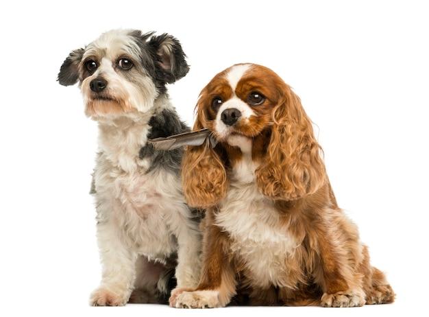 Cavalier king charles spaniel con una piuma in bocca e incrocio dog sitter