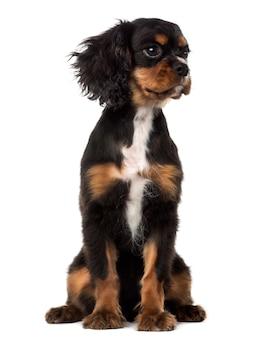 Cavalier king charles spaniel cucciolo che guarda lontano, isolato su bianco