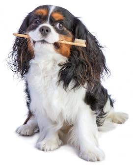 Cavalier king charles spaniel seduto con uno spazzolino da denti